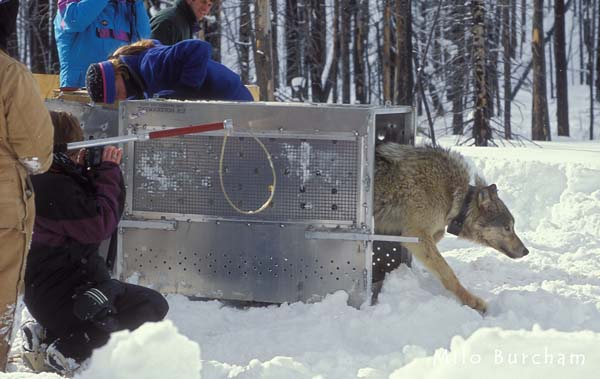 Wolf Reintroduction to Yellowstone Park